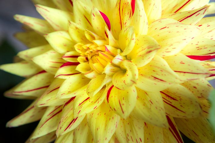 Yellow Petals - Dave Hare Photography