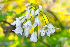 Woodland Flora