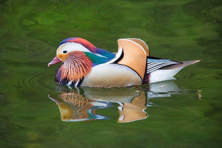 Mandarin Duck - Dave Hare Photography