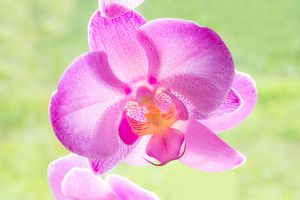 Backlit Iris