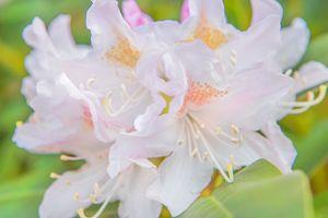 Soft White Flora