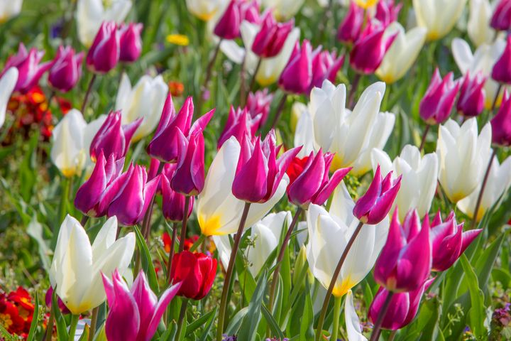 Tulips - Dave Hare Photography