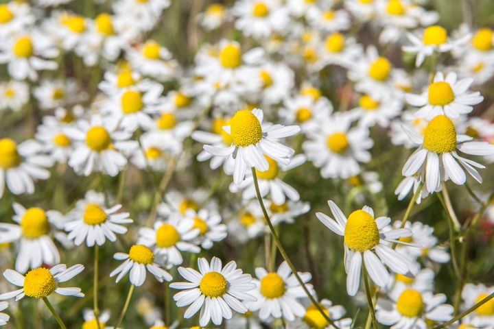 Daisies - Dave Hare Photography