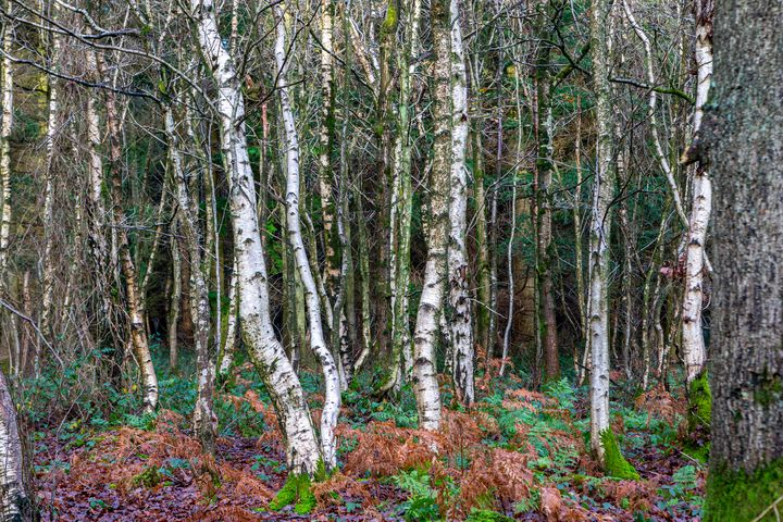 Silver Woodland - Dave Hare Photography