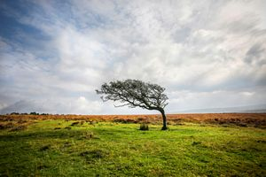 A single windswept tree on Dartmoor,