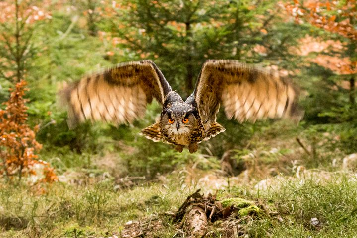 Owl in Flight - Dave Hare Photography
