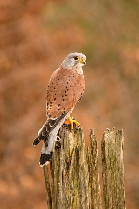 Common Kestrel (Falco tinnunculus) - Dave Hare Photography
