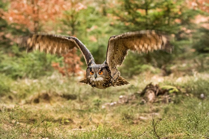 Eagle Owl in flight. - Dave Hare Photography