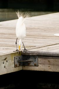 Snowy Egret on jetty