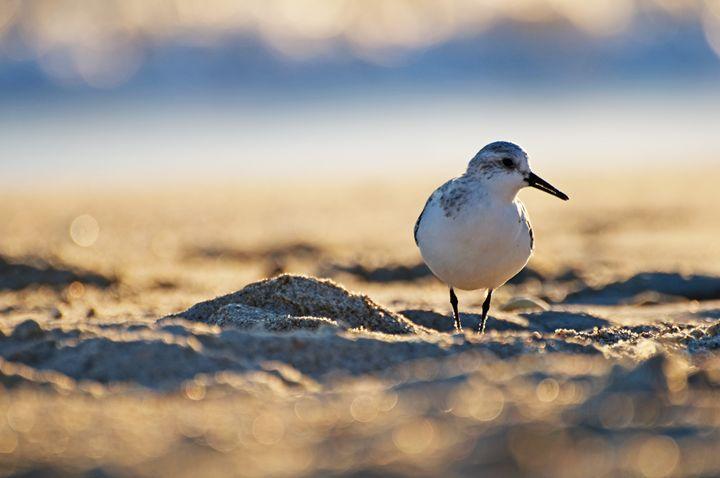 Beach Bird Sandpiper - Anna Linda