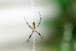 Garden spider webbing
