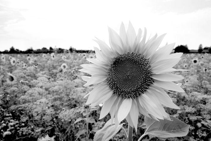 Sunflower Fields - KCBlack&White