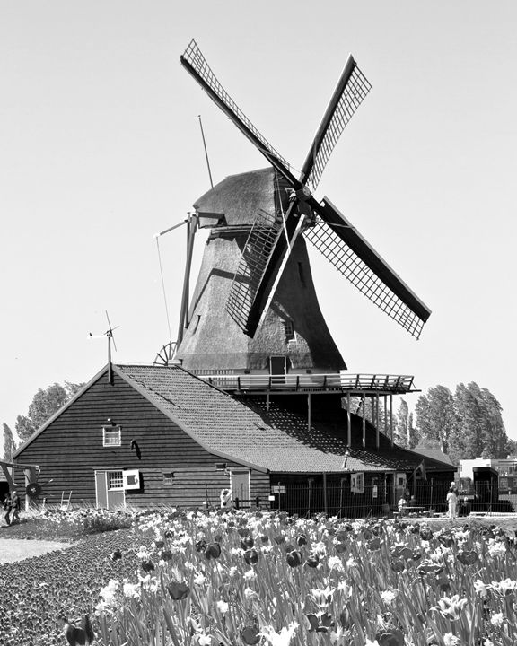Netherlands Windmill Tulips and Farm - KCBlack&White