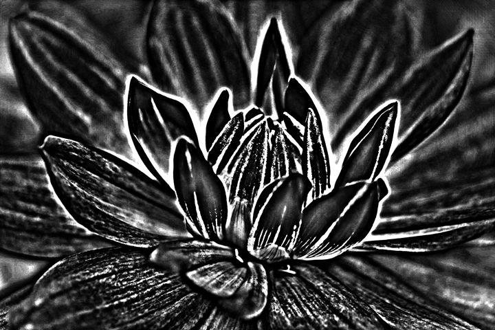 Dahlia sketch DARK - KCBlack&White