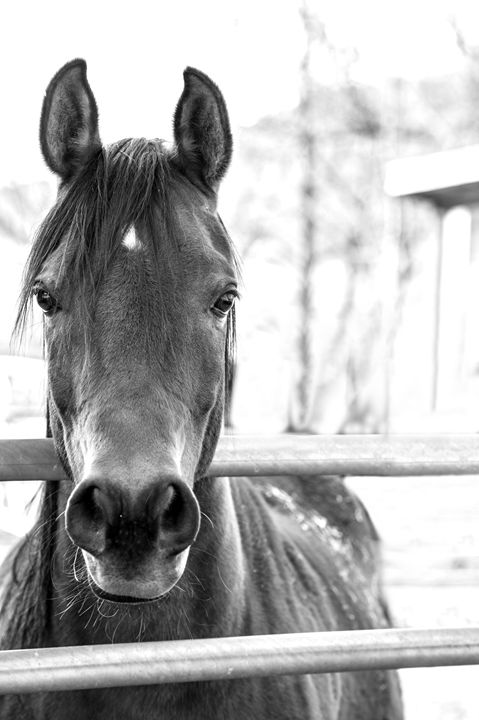 Horse at the fence - KCBlack&White
