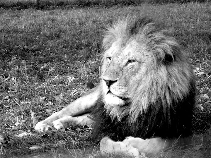 Casual lion in the grass - KCBlack&White