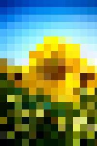 Sunflower - Zoltan Duray