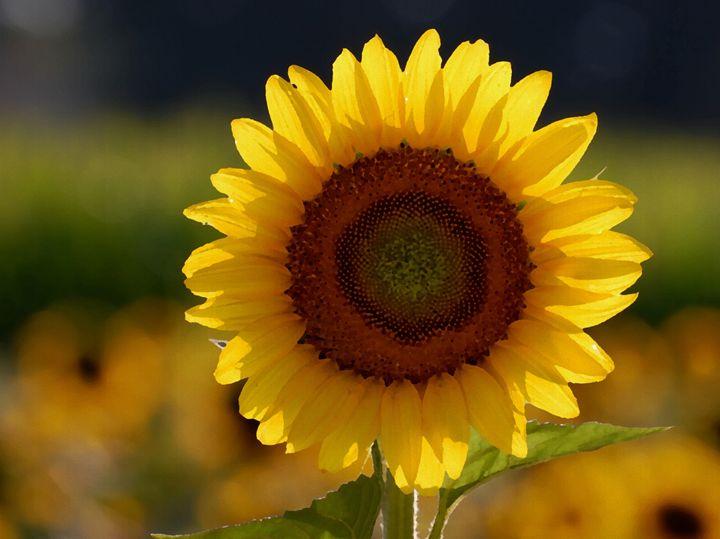 sunflower - Jayson griffin