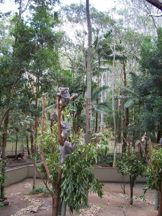 Koalas - Maxxams