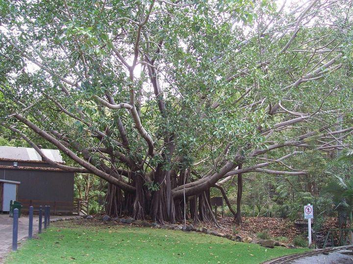 Old Tree - Maxxams