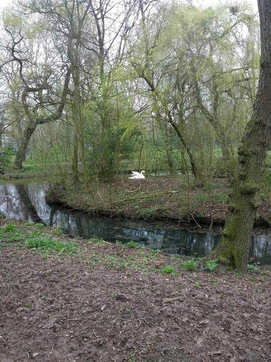Swan in the trees - Maxxams