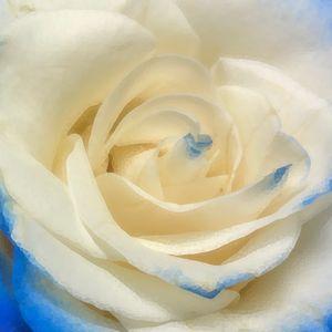 Blue rose - EkArt
