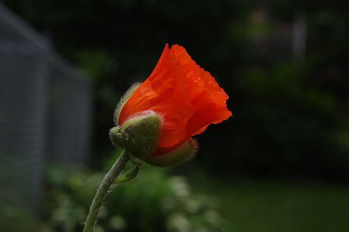 Poppy Popping - Jamiol's Art