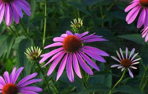 Early Morning pink Cone Flower