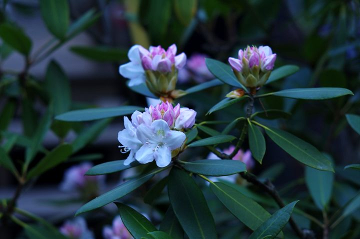 Rhododendrons on a Cloudy Day - Jamiol's Art
