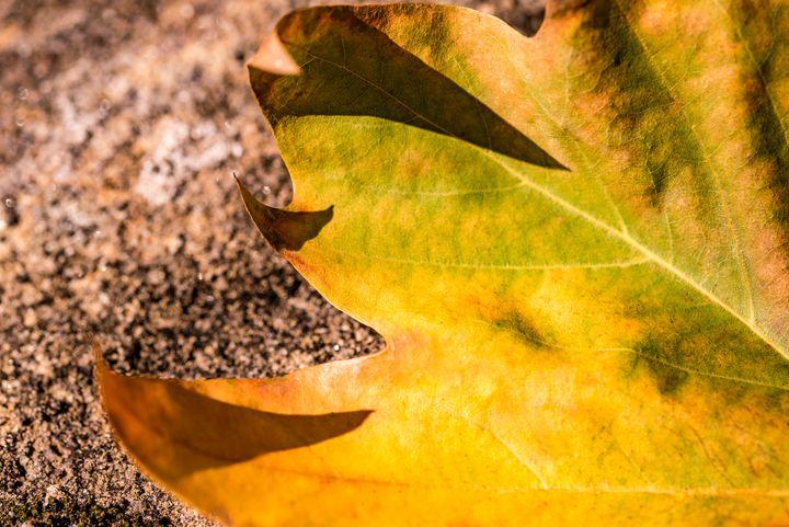 Fallen Autumn Leaf 01 - Eva Bane