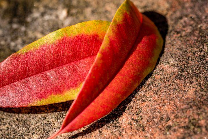 Fallen Autumn Leaf 04 - Eva Bane