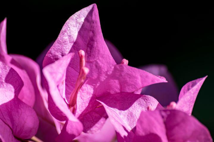 Pink Bougainvillea in the Sun 05 - Eva Bane