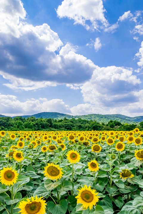 Sunflower Field Against Sky 01 - Eva Bane
