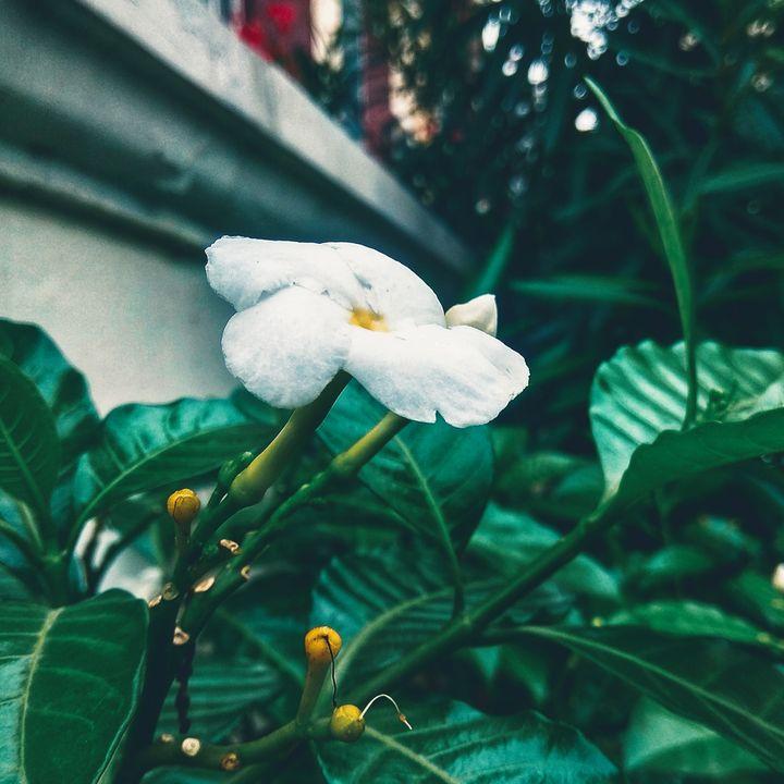 Crape_Jasmine - Vivekananda Beshra