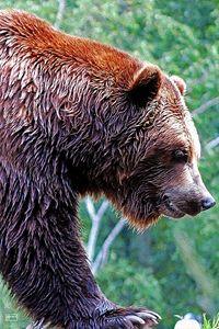 Grizz - Pavelle Fine Art