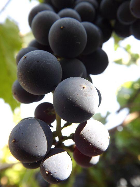 Purple Grapes - Paints of Light