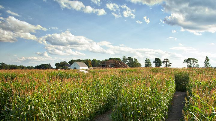 Corn Field - SCL Photography