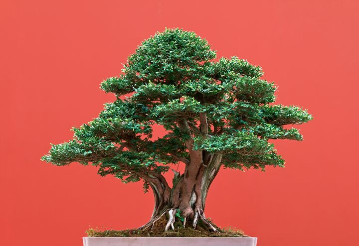 Yew bonsai - Antonio-S