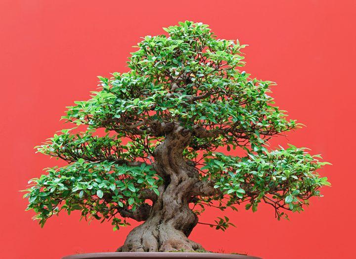 Ficus bonsai - Antonio-S