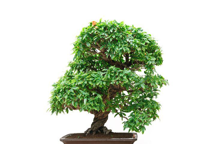 Punica Granatum bonsai tree - Antonio-S