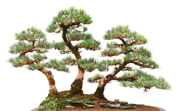 three pine bonsai trees - Antonio-S