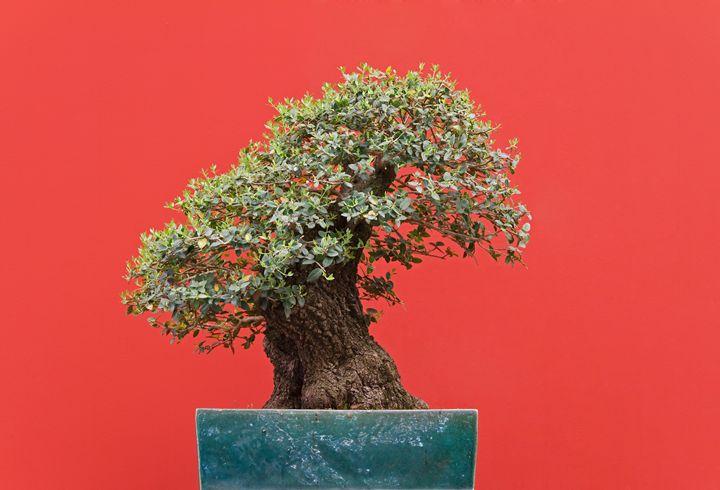 Zelkova bonsai - Antonio-S