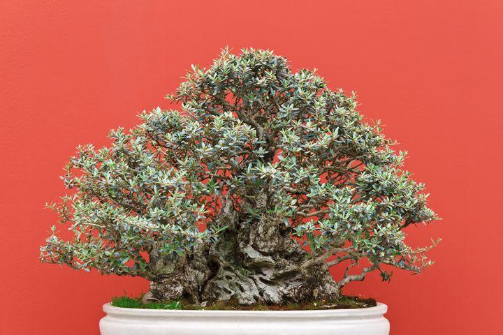 old bonsai tree - Antonio-S