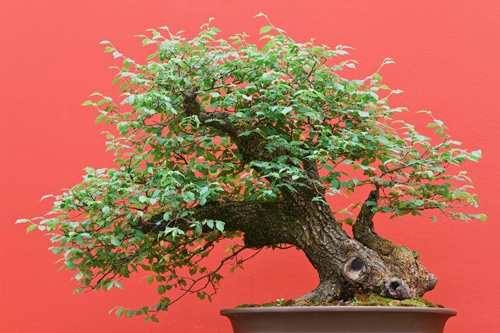 bonsai Zelkova tree - Antonio-S