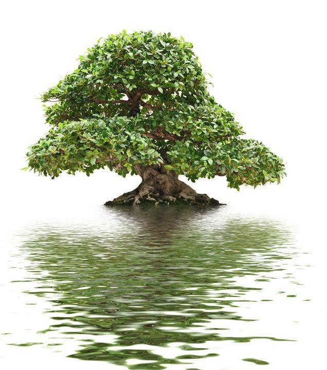 Ficus bonsai isolated - Antonio-S