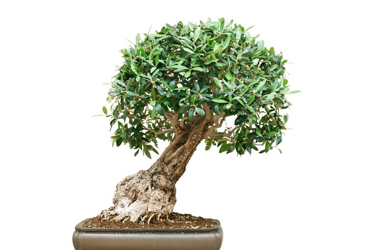 bonsai tree - Antonio-S