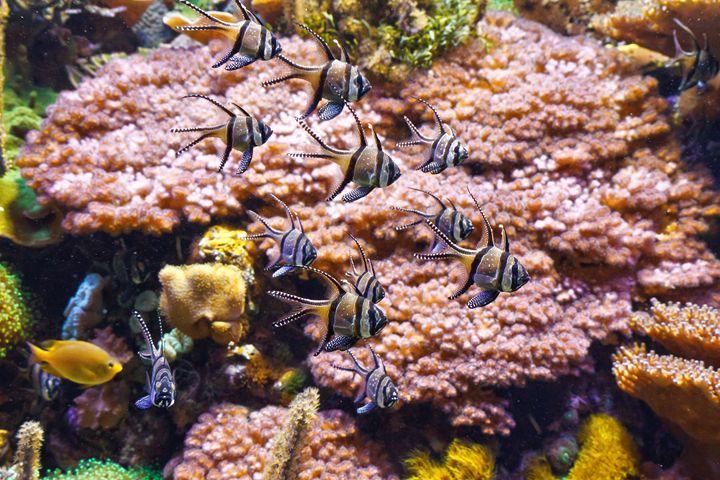 Aquarium - Pterapogon fish - Antonio-S