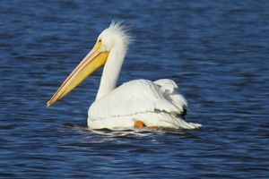 White Pelican on a cold day