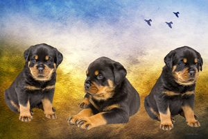 Rottie Puppies - Photograph - White Roe Art and Design