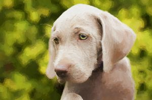 Weimaraner Puppy - Painting - White Roe Art and Design